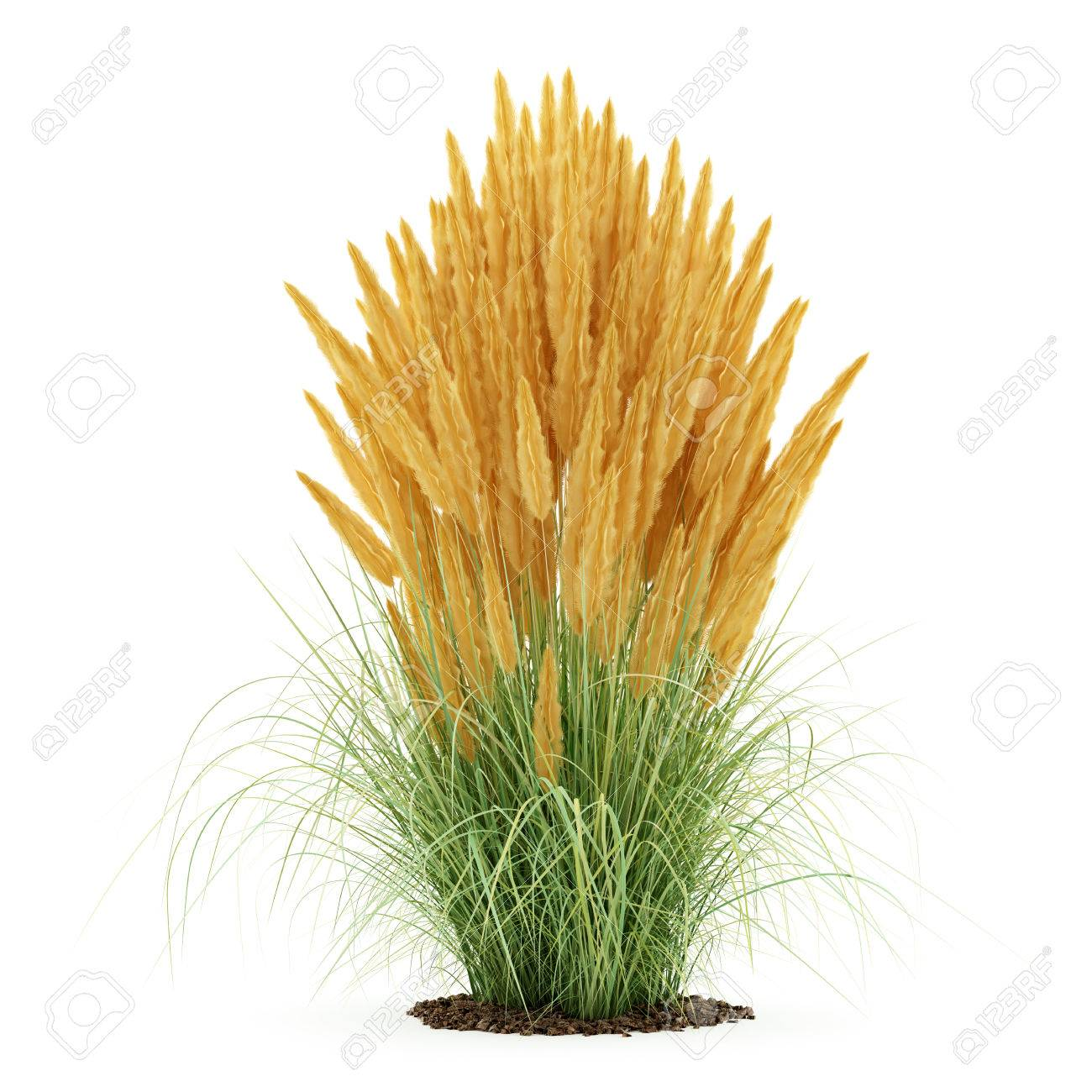 Ornamental Grass Plant Isolated On White Background 3d