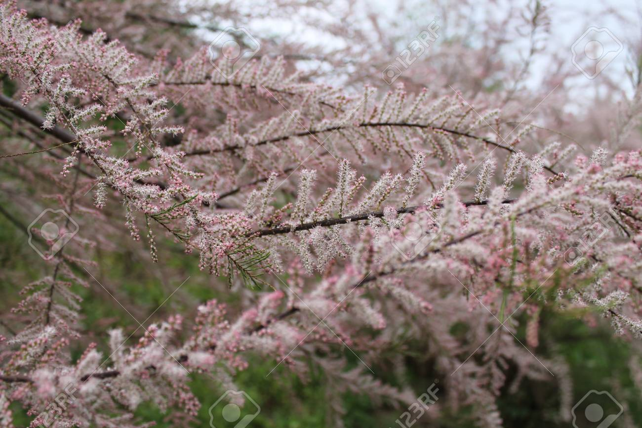 Flowering Shrub With Small Pink Flowers Stock Photo Picture And