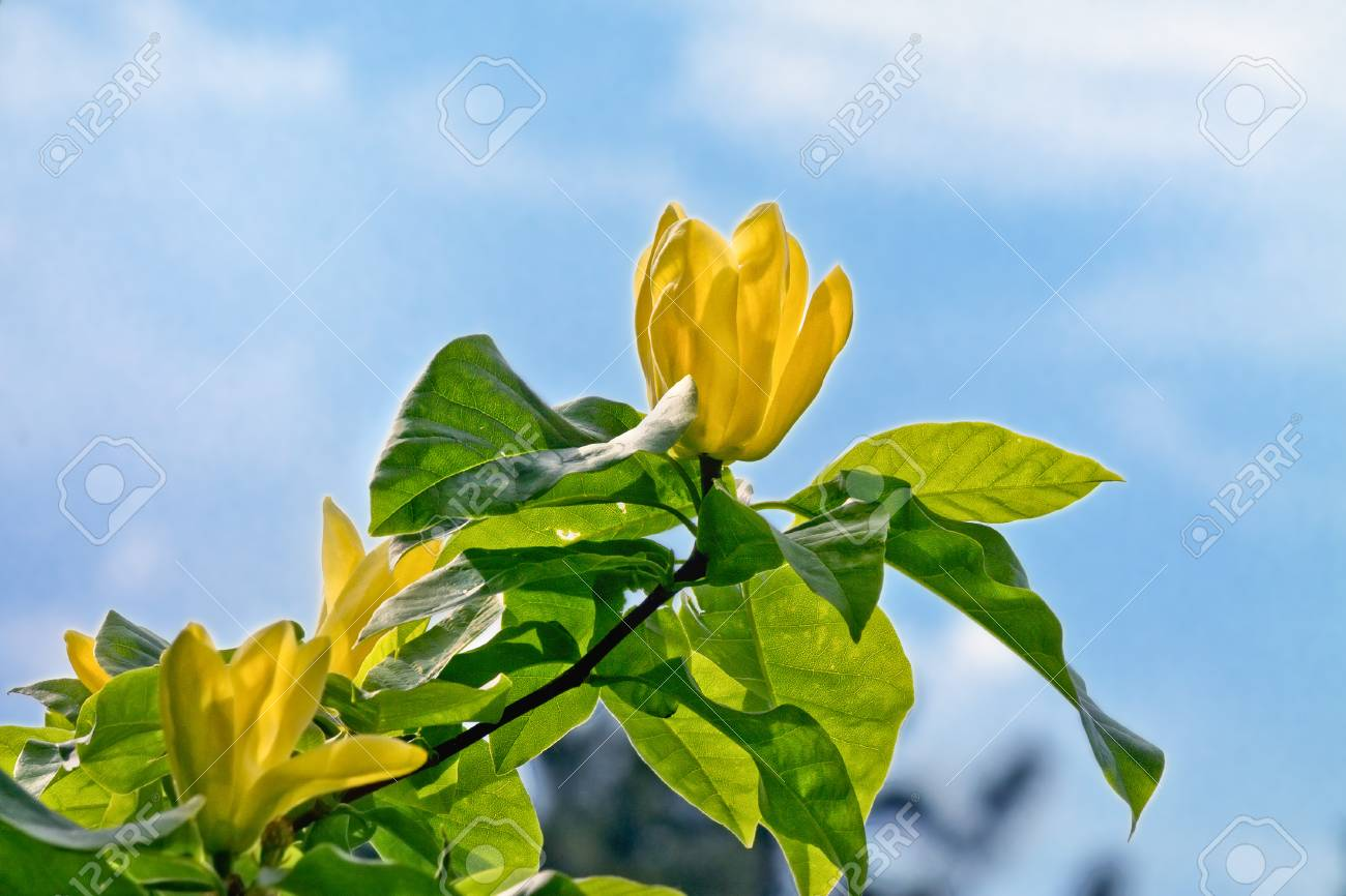 Yellow Magnolia Flower Closeup On A Branch Against The Sky Stock