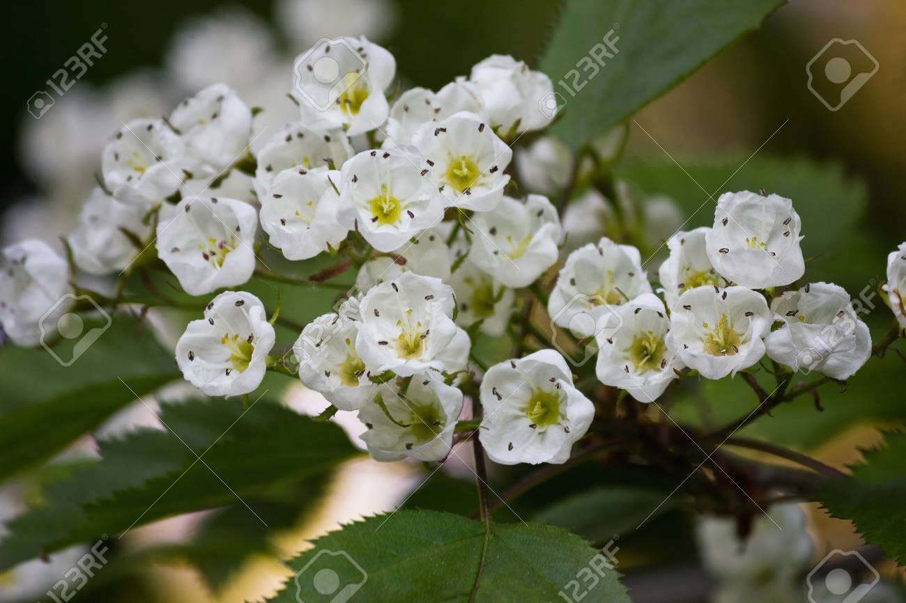 Blooming Bunch Of Hawthorn With White Flowers Closeup Stock Photo