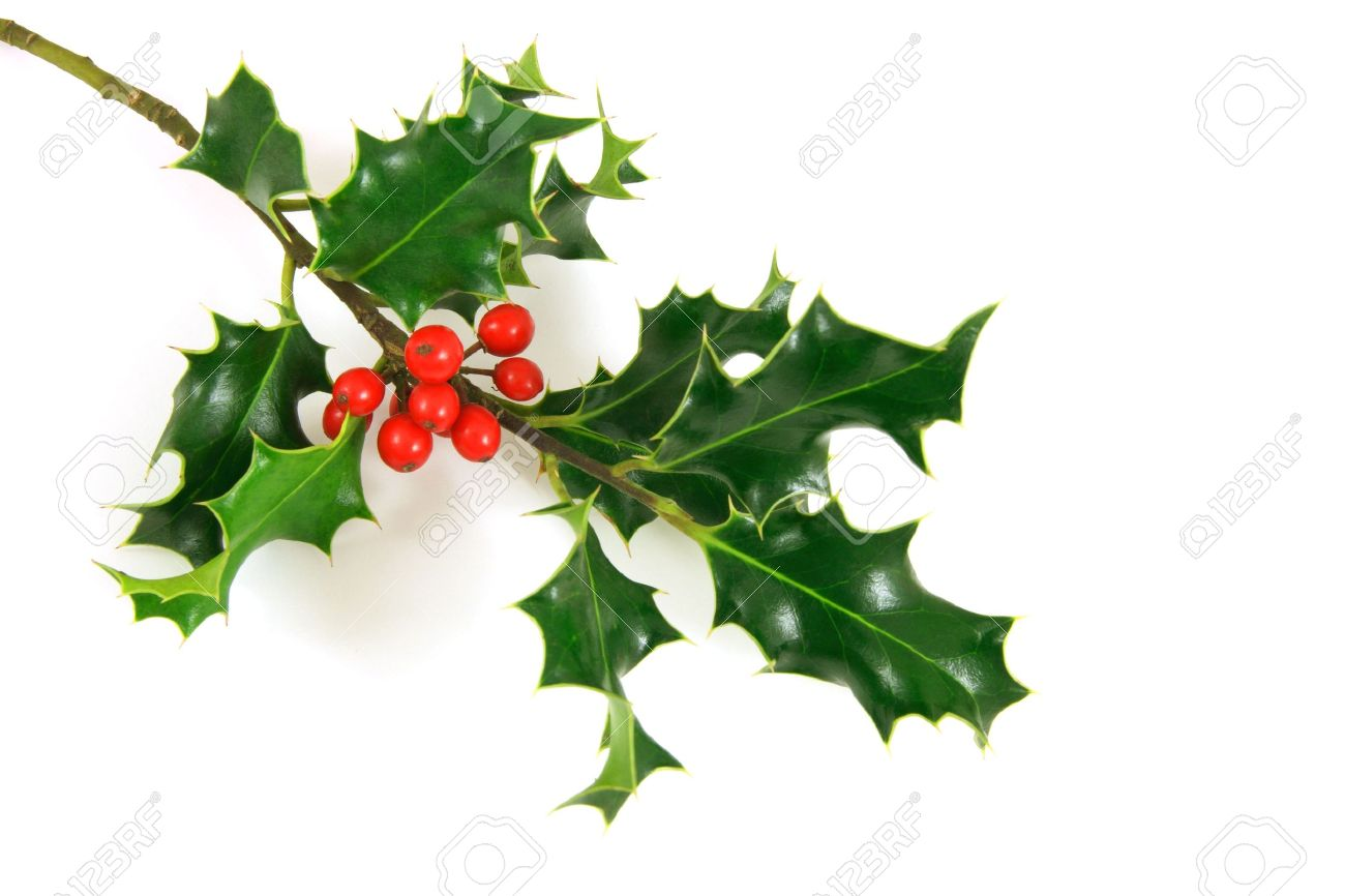external image 2247097-holly-branch-over-a-white-background-Stock-Photo-berries.jpg