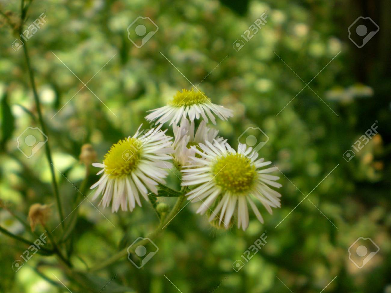 Photo Of Chamomile Flowers With Yellow Center And White Petals