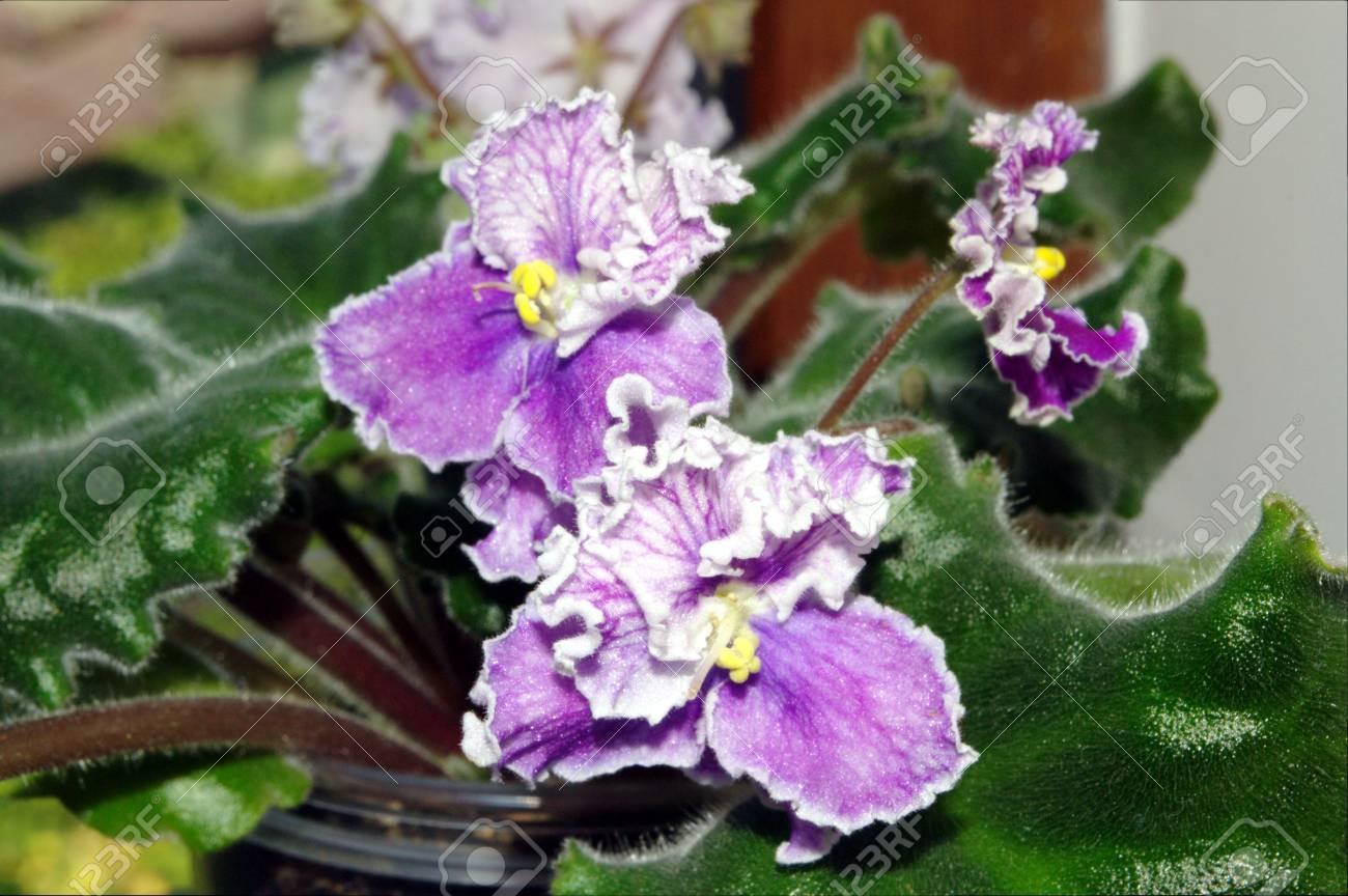 Photo Of Purple With White Shiny Iridescent Shimmer Saintpaulia