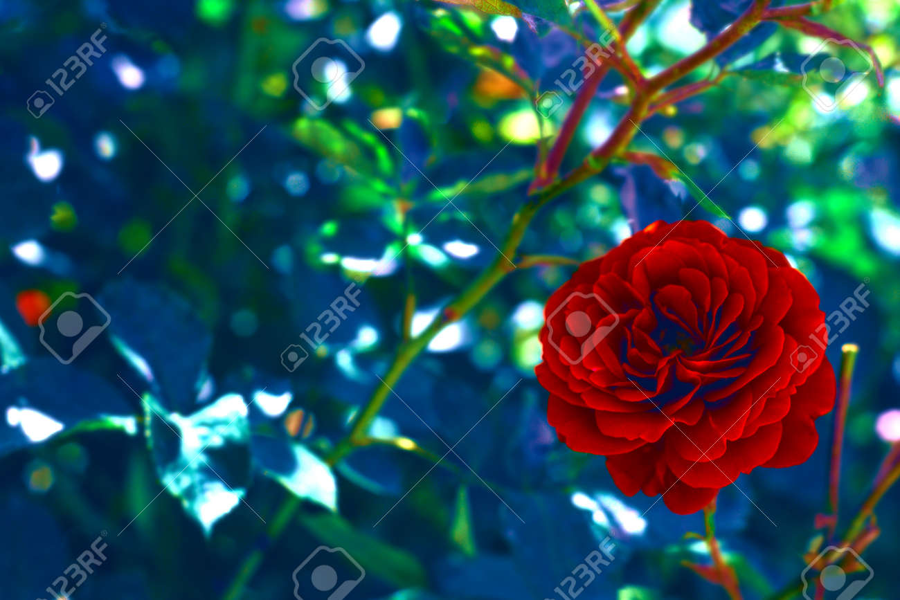 Beautiful Artistic Nature Background With Bright Red Rose Flower Stock Photo Picture And Royalty Free Image Image 160767978