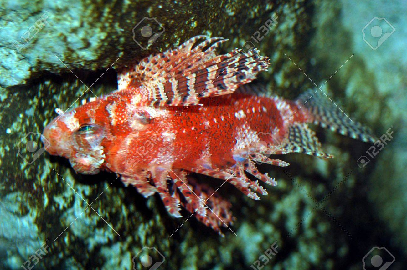 Marine Fish Called Lionfish Displaying Colorful Fins Stock Photo ...