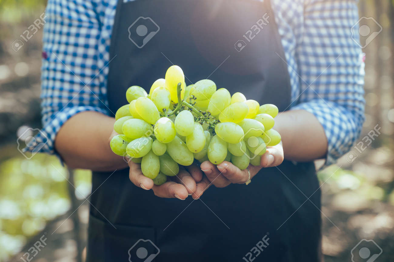 the woman harvesting the grapes in the vineyard. the concept of beverage, food, industrial and agriculture. - 168206484