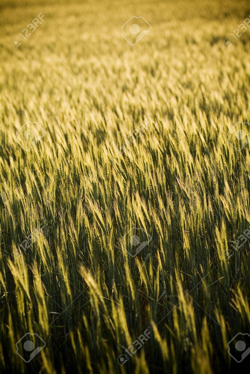 Heads of golden grain stretch out in fields at sundown Stock Photo - 6949737