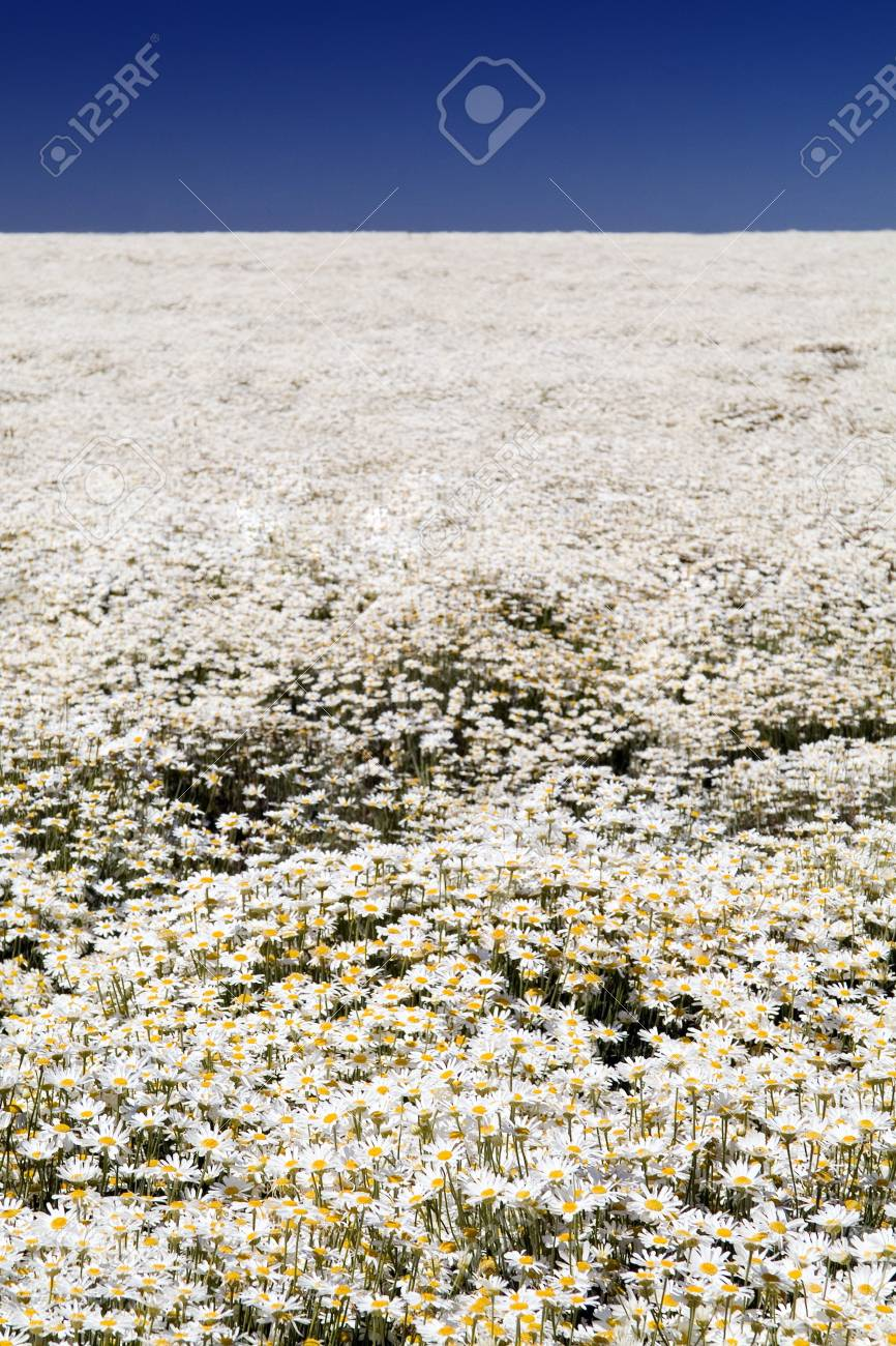 A perfect field of white daisy's under a blue sky Stock Photo - 6949761