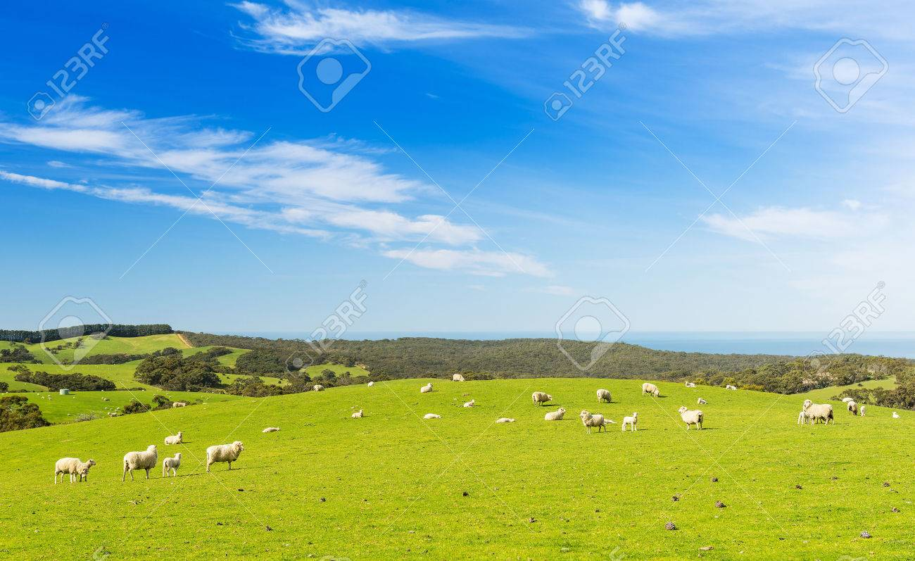 Sheep and lambs in the field at spring time under bright blue sky - 32122121