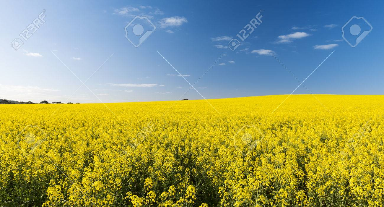 Rapeseed field with golden yellow flowers before harvest stock photo rapeseed field with golden yellow flowers before harvest stock photo 33487091 mightylinksfo