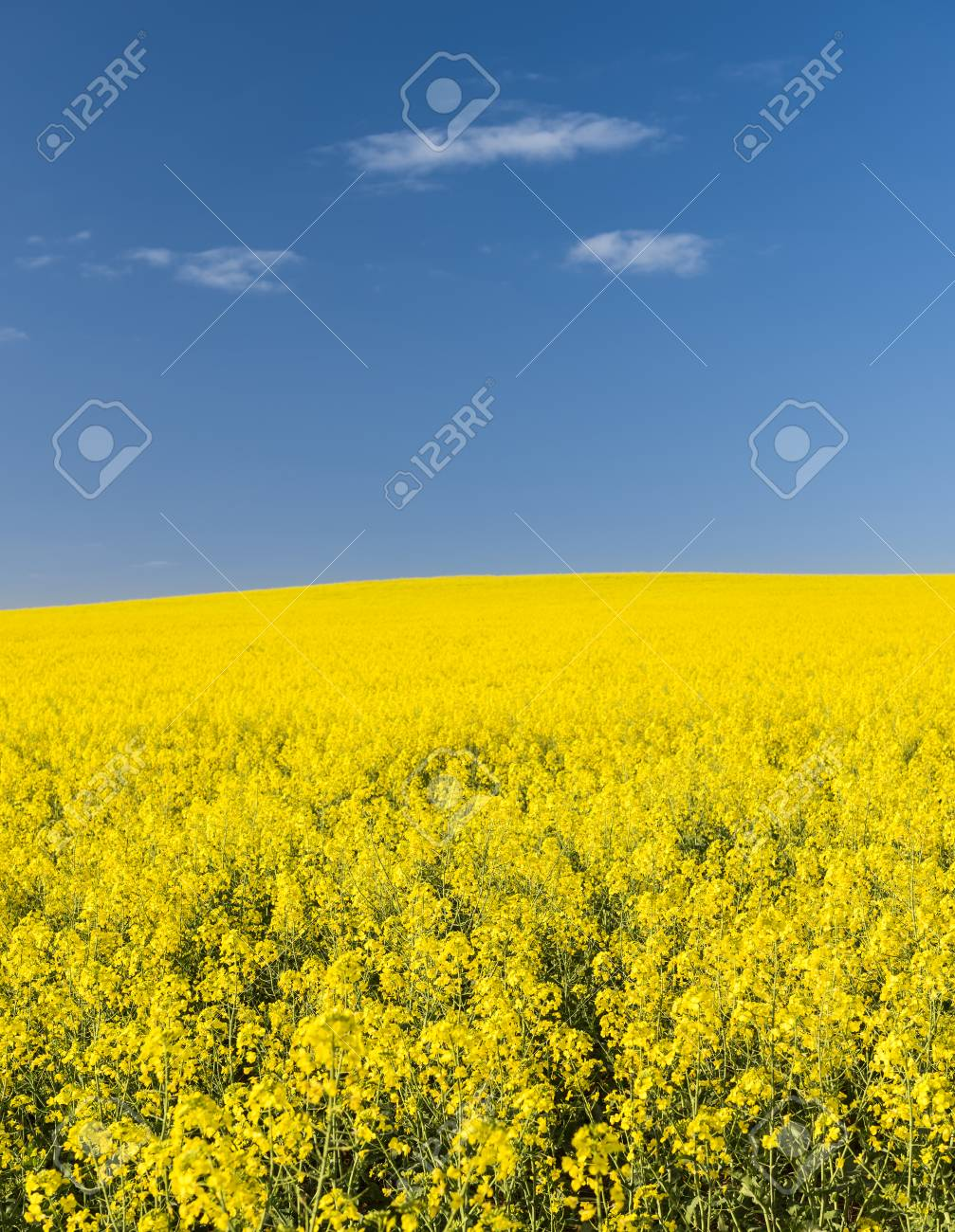 Rapeseed field with golden yellow flowers before harvest stock photo rapeseed field with golden yellow flowers before harvest stock photo 33487093 mightylinksfo