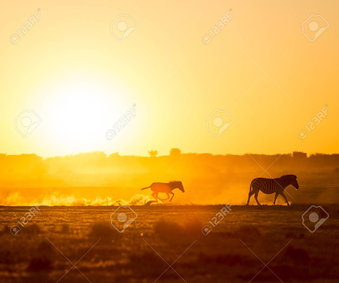 Silhouetté Promenade En Famille Zebra à Travers Le Coucher De Soleil Africain Avec Un Zèbre Course Bébé Dans La Poussière