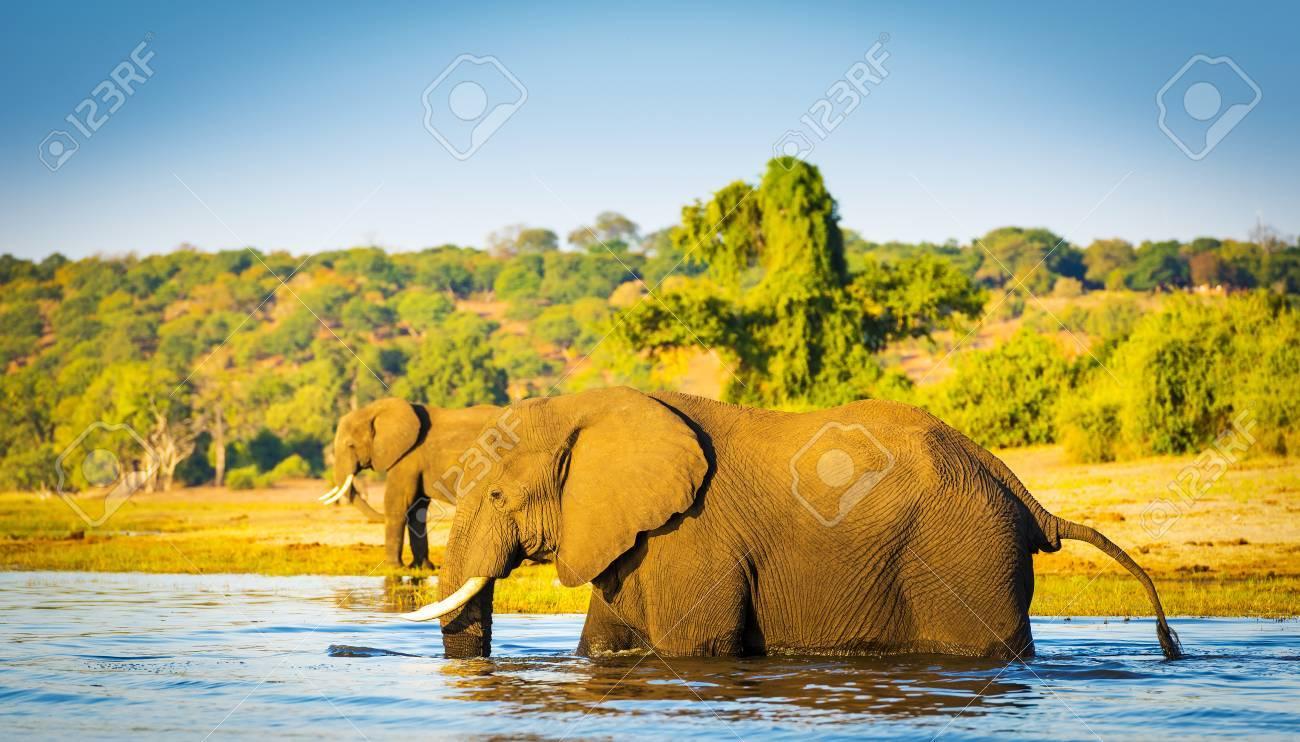 Large Elephant Wading Across The Chobe River In Botswana Africa - Chobe river