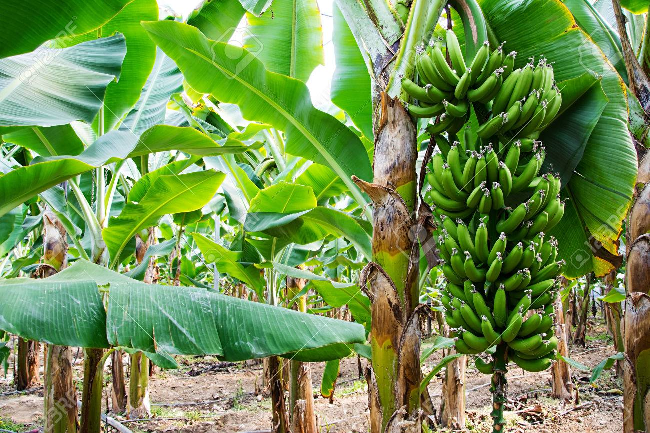Banana Tree With A Bunch Of Growing Bananas Alanya Turkey Stock