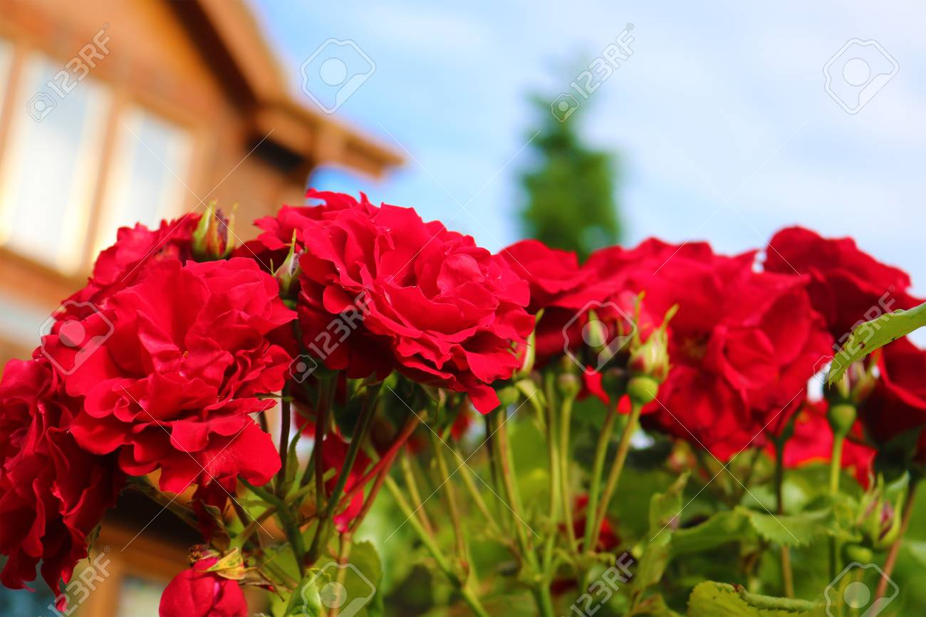 Red flowers Birmingham England  close view Stock Photo - 80694569