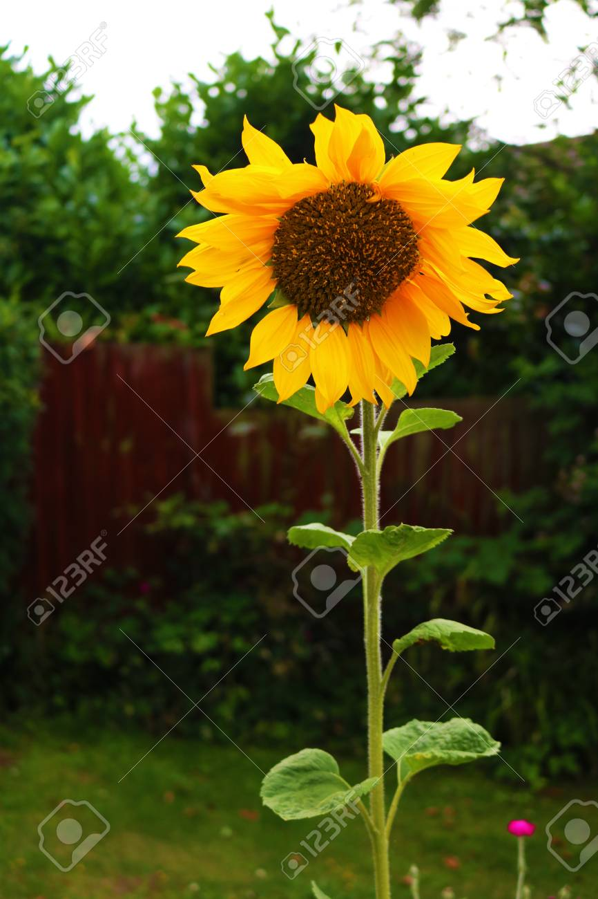 Large Sunflower Stock Photo - 82328177