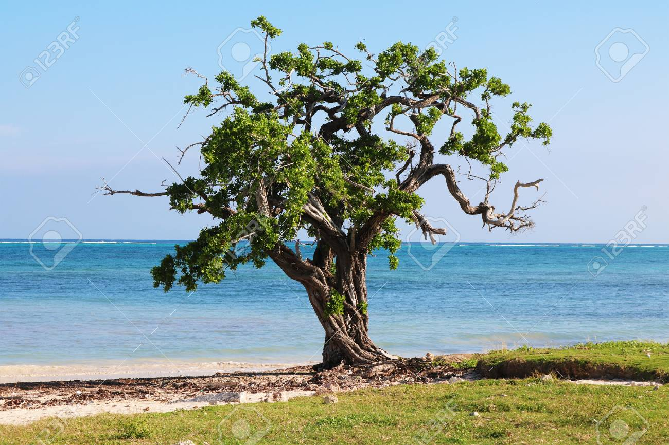 Guardalavaca tree next caribbean sea Stock Photo - 92403922