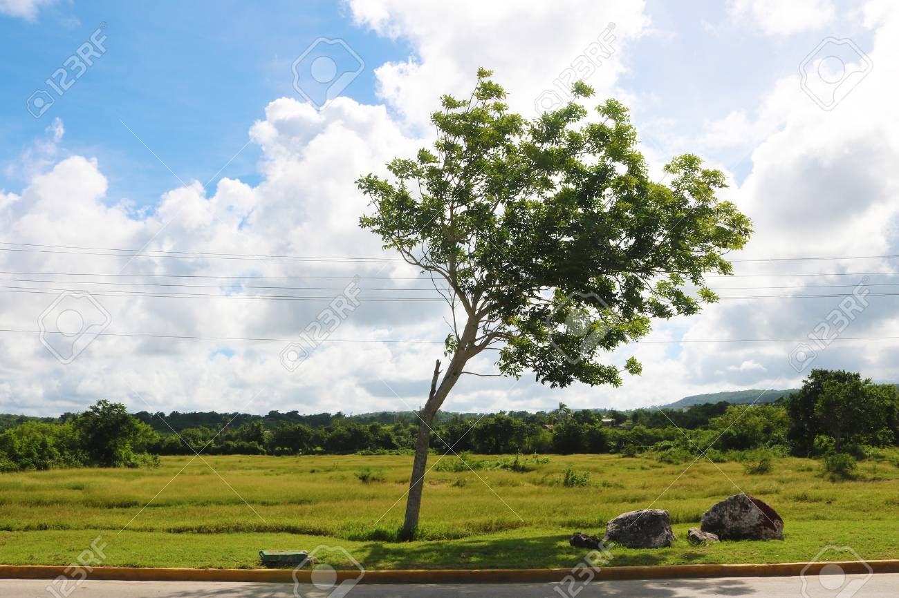Cuba Holguin tree Stock Photo - 92814419