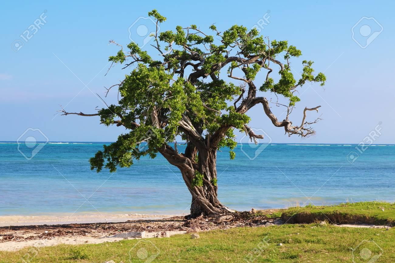 Tree by the coast in Cuba Holguin Stock Photo - 92814242