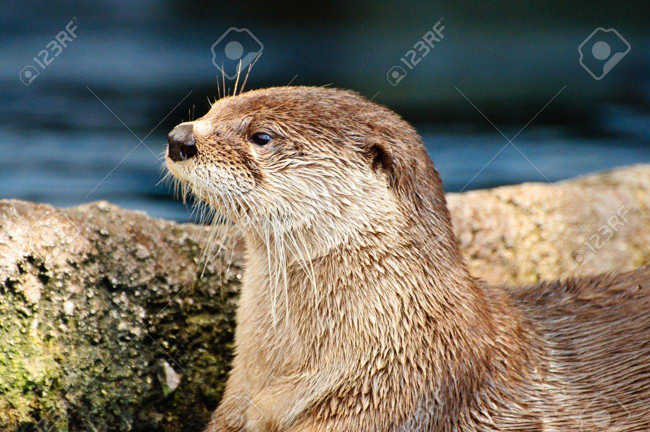 Close up of an Otter looking to the left Stock Photo - 17972571