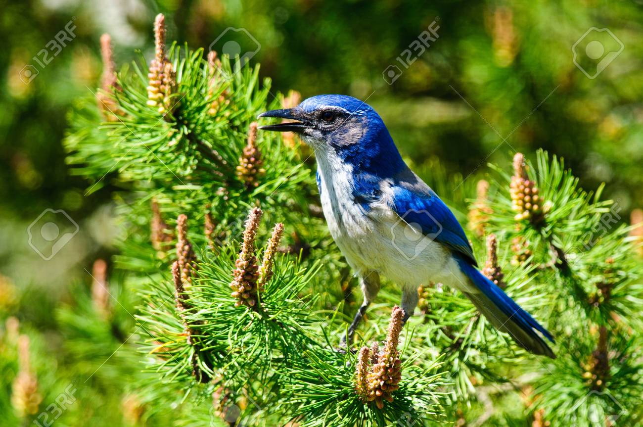 Closeup  of a Blue Scrub Jay perched in pine branch Stock Photo - 18025959