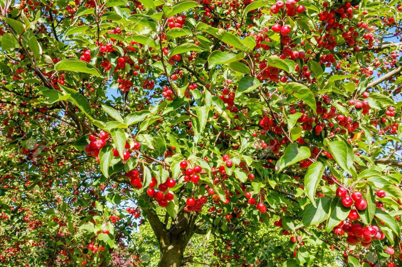 Crabapple Trees With Red Crab Apples Illuminated By Sunshine