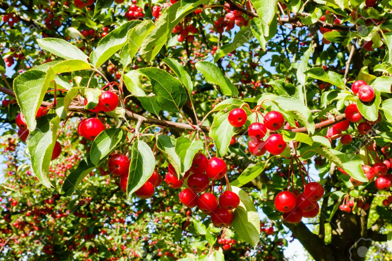 Closeup Of Sunlit Red Crab Apples Hanging On A Crabapple Tree