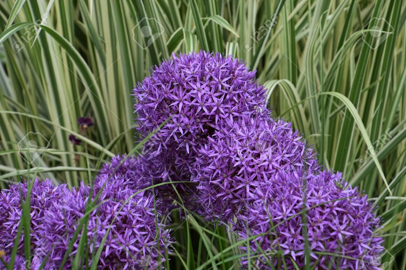 Purple Persian Onion Flower In Spring Allium Cristophii Persian