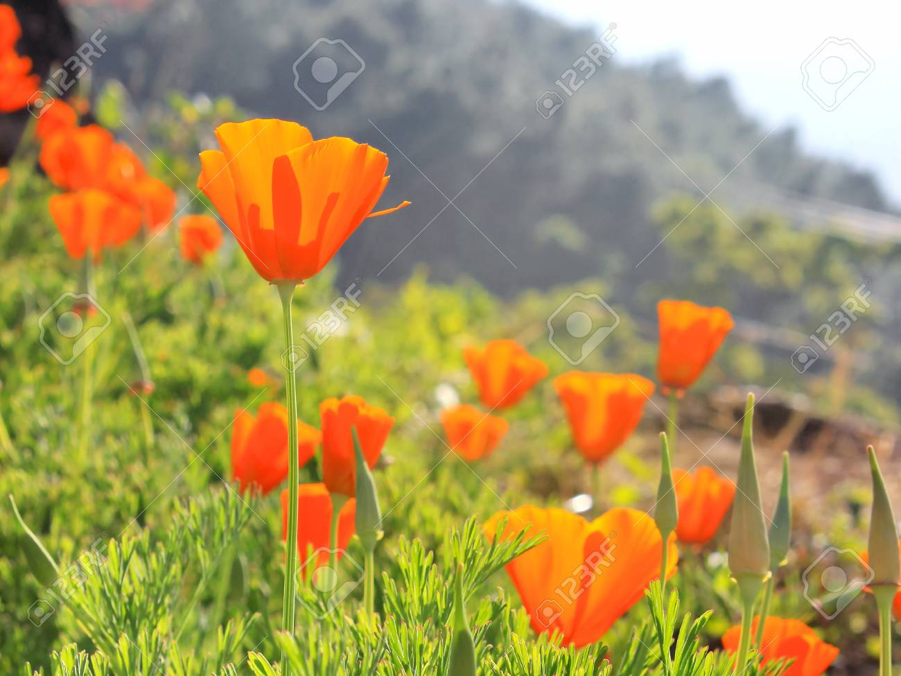 Orange Poppy Flowers In A Garden Stock Photo Picture And Royalty