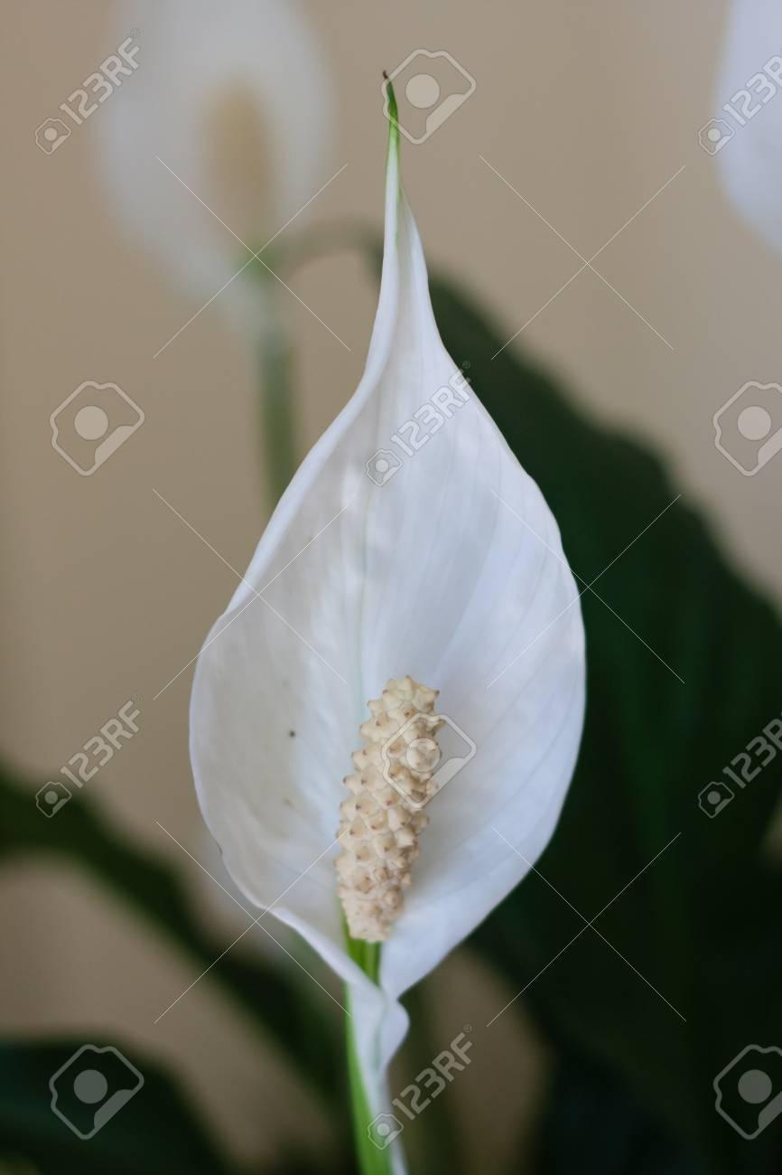 White peace lily flower plant stock photo picture and royalty free stock photo white peace lily flower plant izmirmasajfo