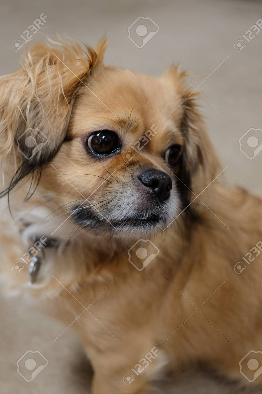 Tibetan Spaniel Dog Portrait Stock Photo Picture And Royalty Free Image Image 83715904