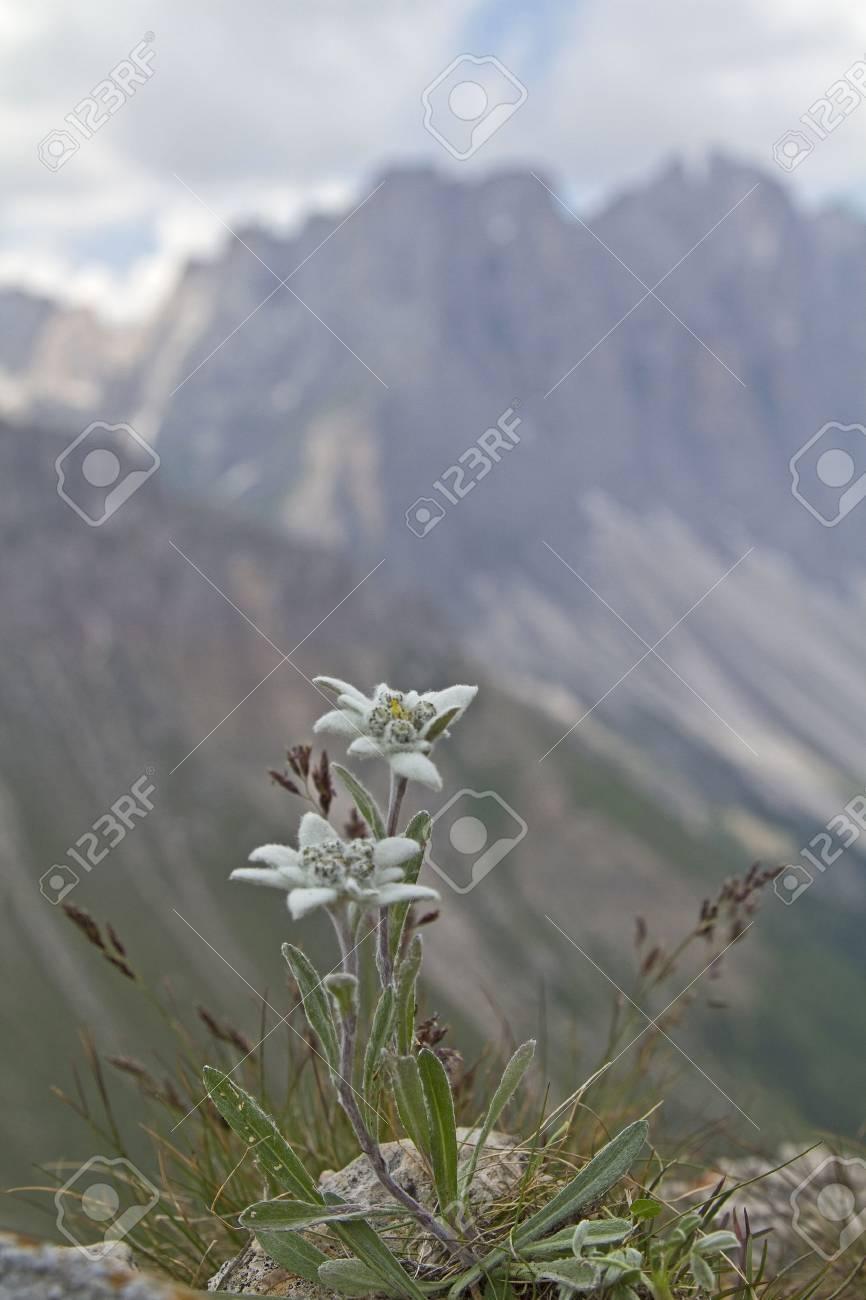 Leontopodium alpinum - 10139830