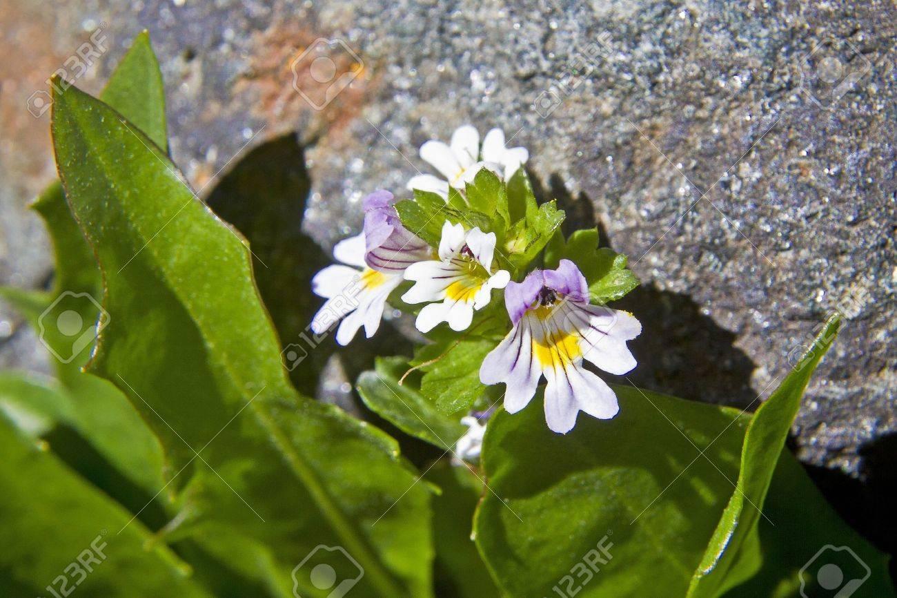 Euphrasia rostkoviana - 15875526