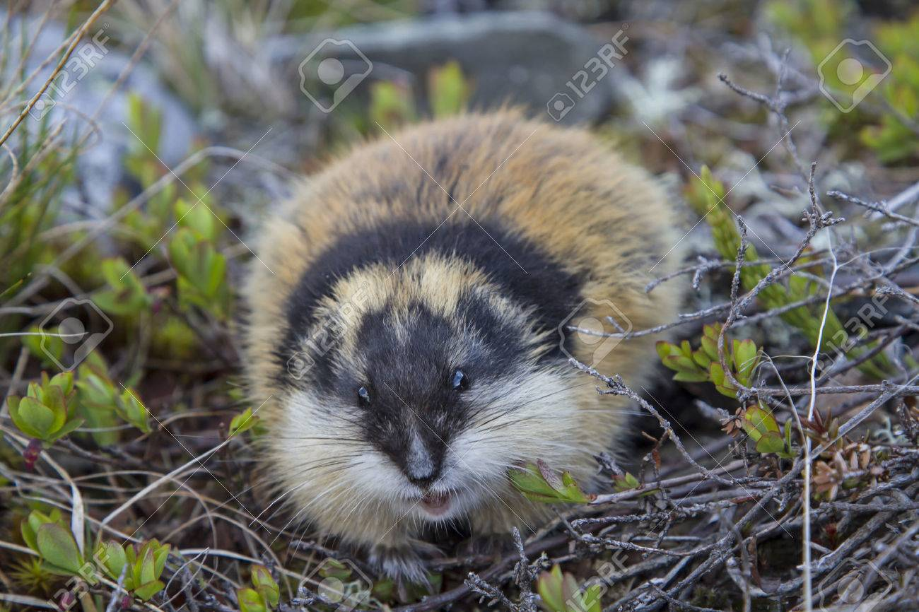 Lemmings are found in many areas of Jotunheimen - 30122266