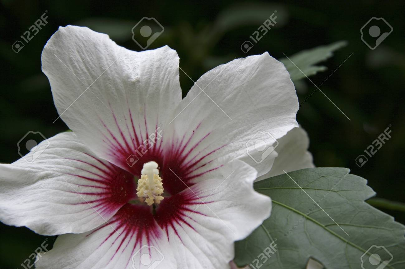White Hibiscus Flower With A Burgundy Calyx Stock Photo Picture And
