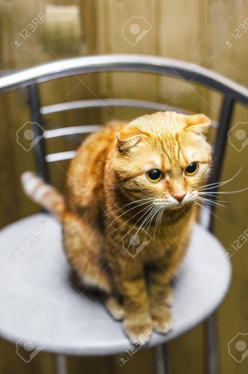 Surprising Red Scottish Fold Cat Seated On A Kitchen Stool Ibusinesslaw Wood Chair Design Ideas Ibusinesslaworg