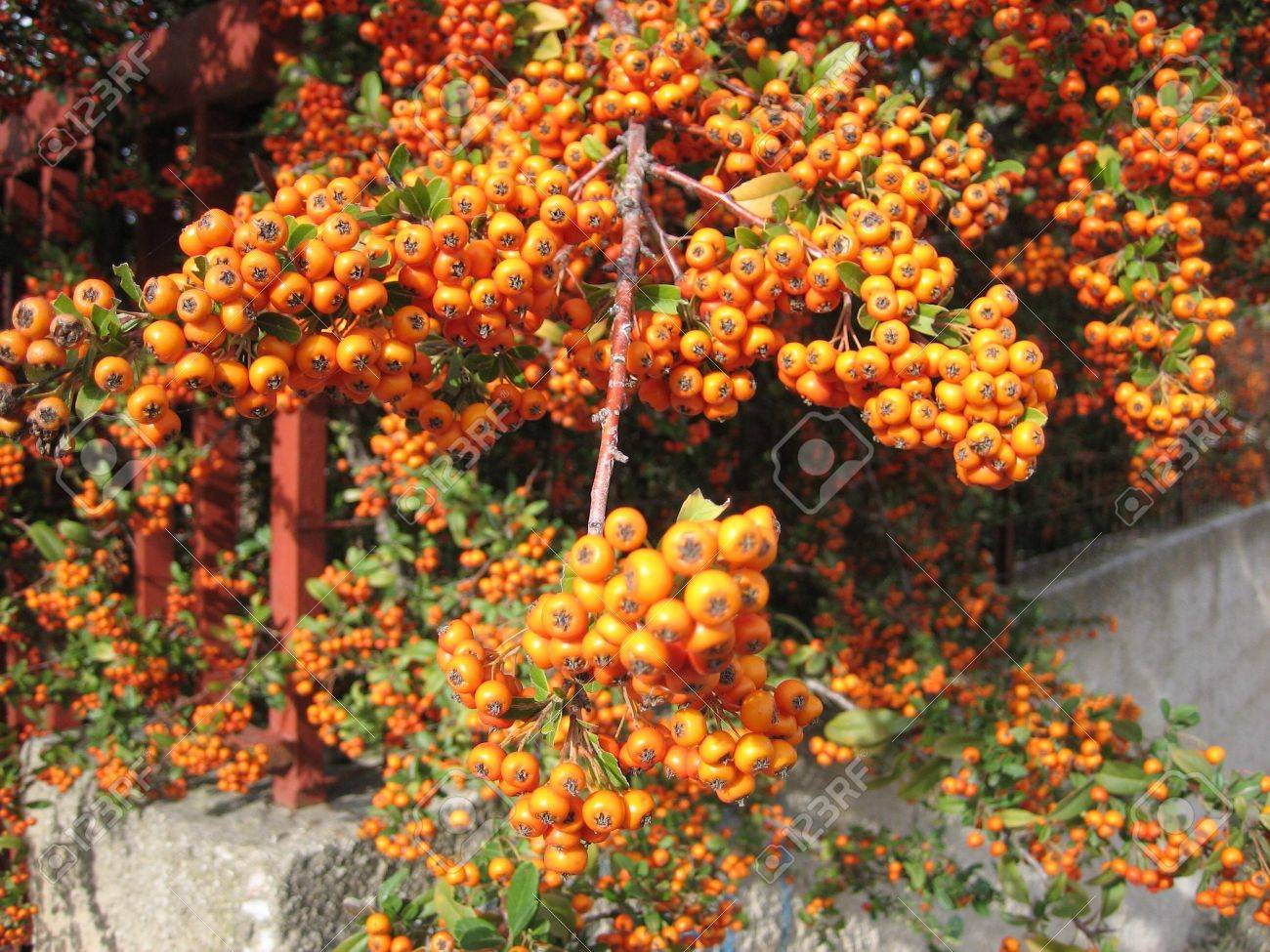 Beautiful Fruit Bearing Tree In A Remote Area Of Greece Stock