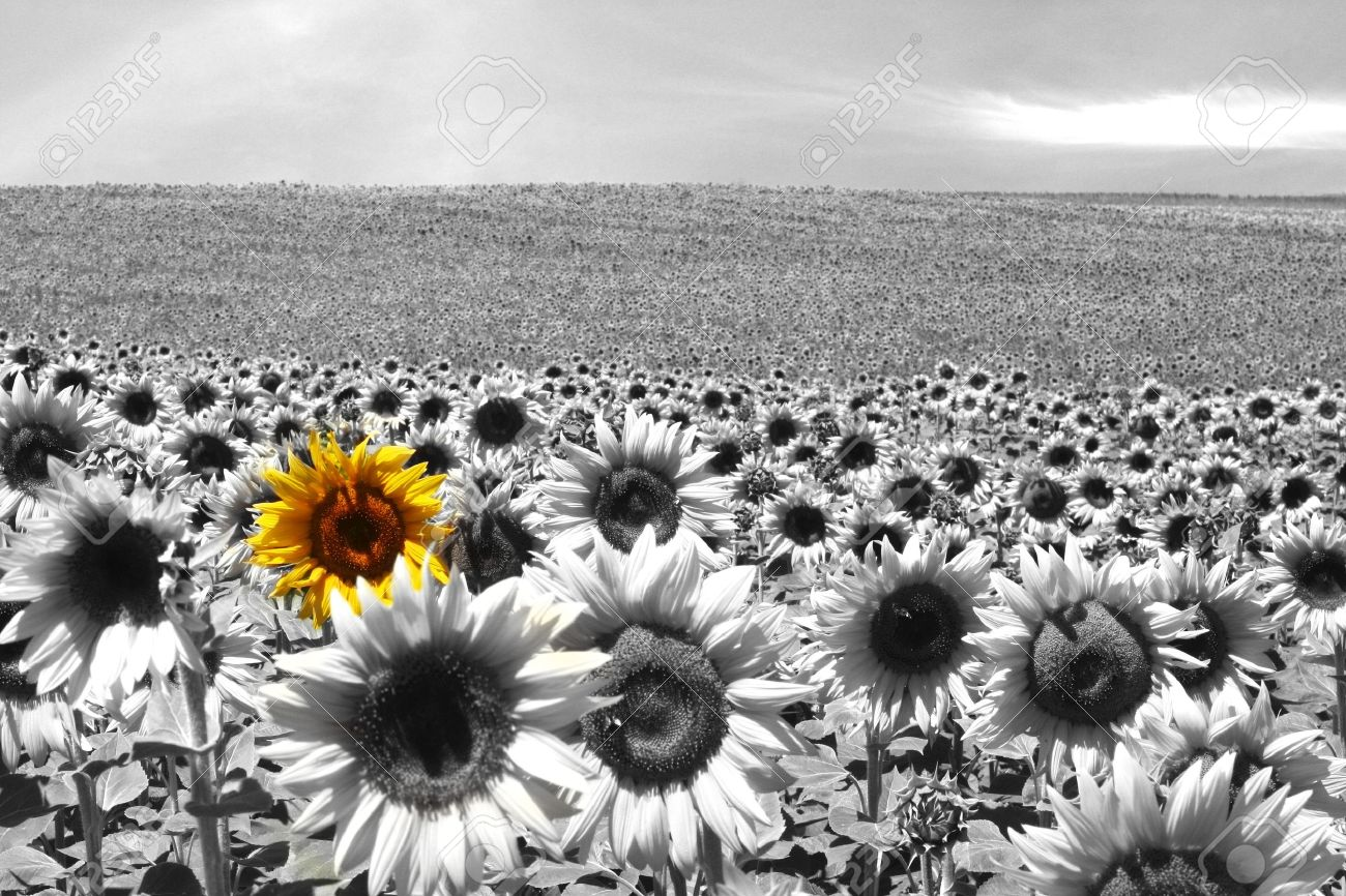 Sunflower Field All Black White Except A Single Flower Stock Photo