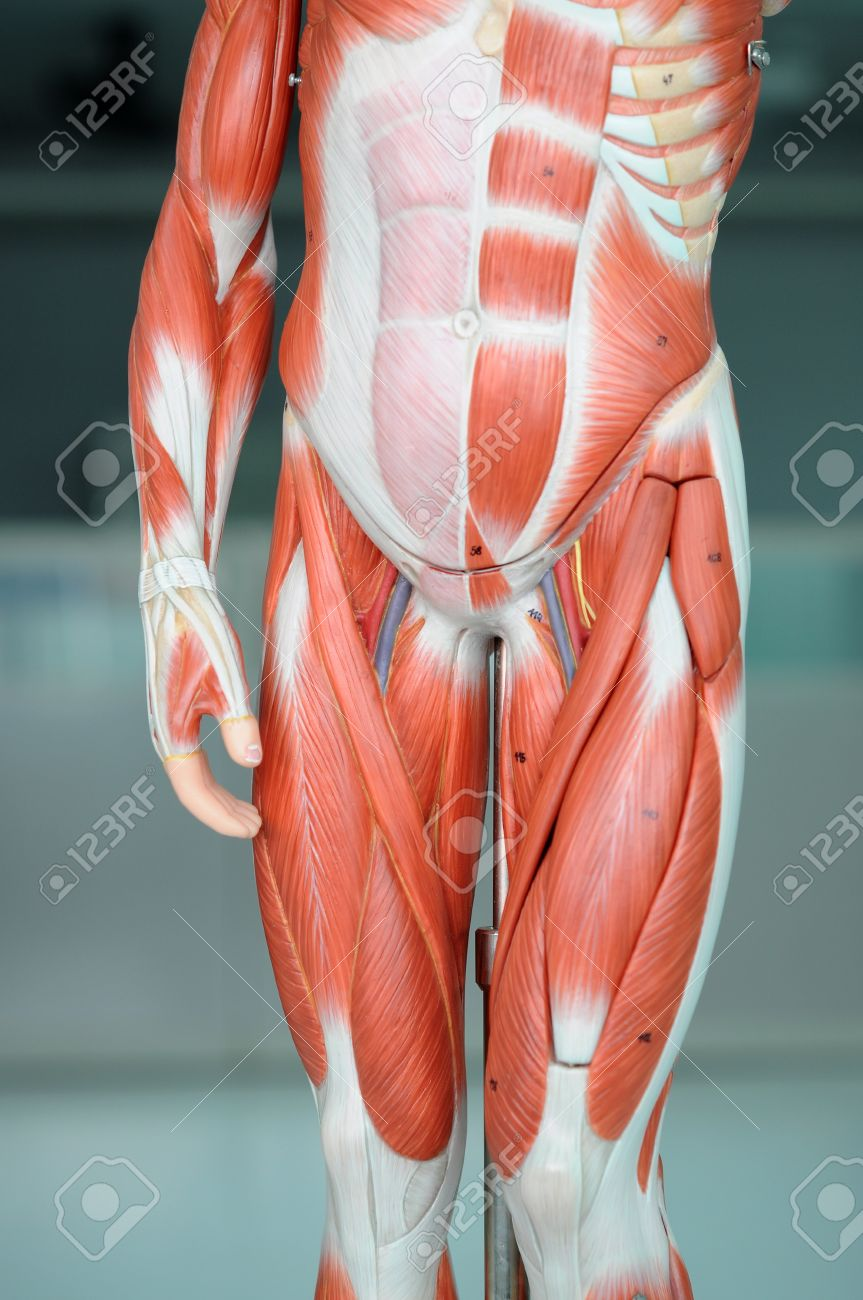 Anatomy Of Human Muscle Model Stock Photo, Picture And Royalty Free ...