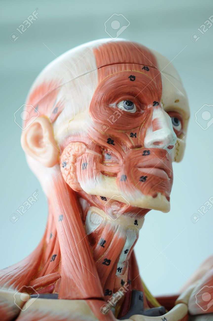 anatomy of head human muscle model stock photo, picture and, Muscles