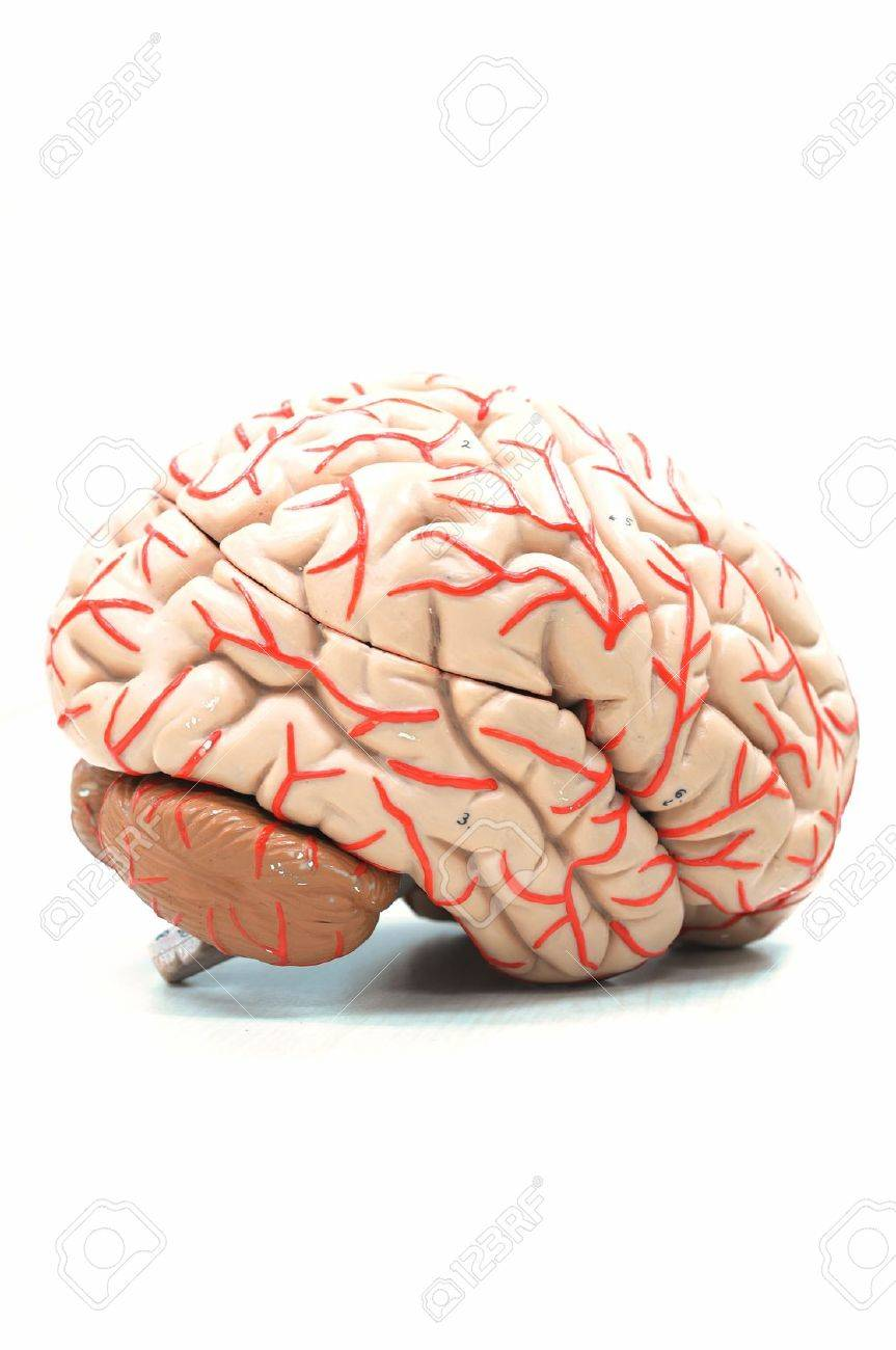 Anatomy Of Human Brain Model Stock Photo Picture And Royalty Free