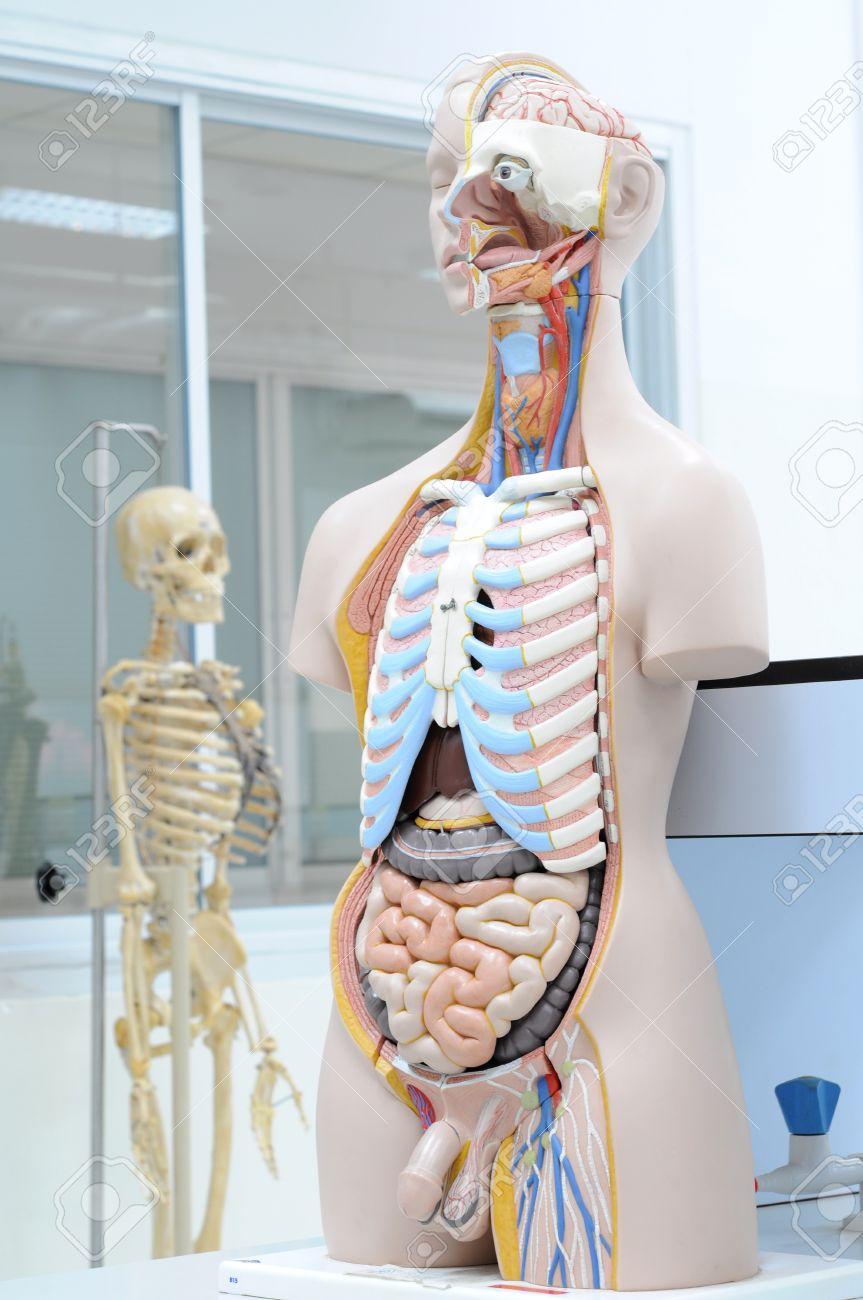 human anatomy model Stock Photo - 13416531