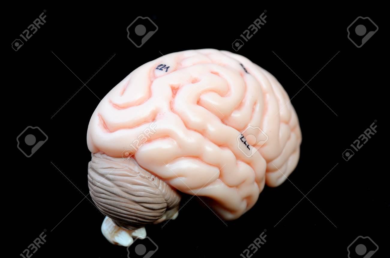 Cerca A La Anatomía Del Cerebro Humano Fotos, Retratos, Imágenes Y ...