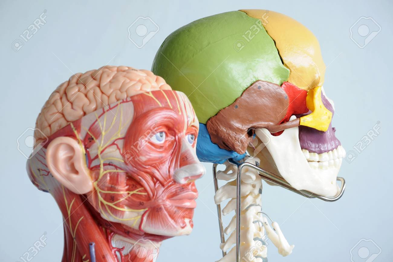 Head Anatomy Model Stock Photo Picture And Royalty Free Image