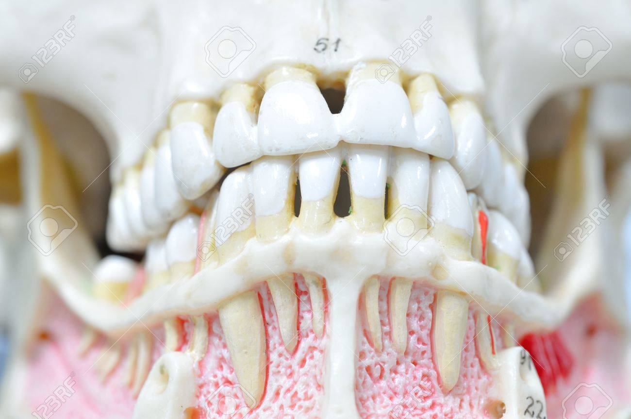 Close Up To Human Teeth Anatomy Stock Photo, Picture And Royalty ...
