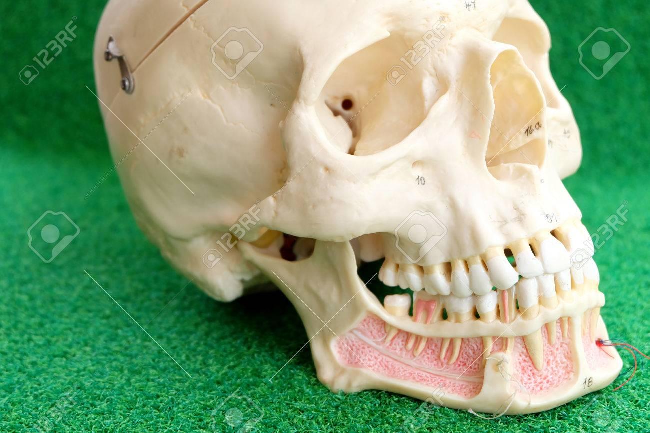 Fein Menschlicher Schädel Anatomie Und Physiologie Fotos ...