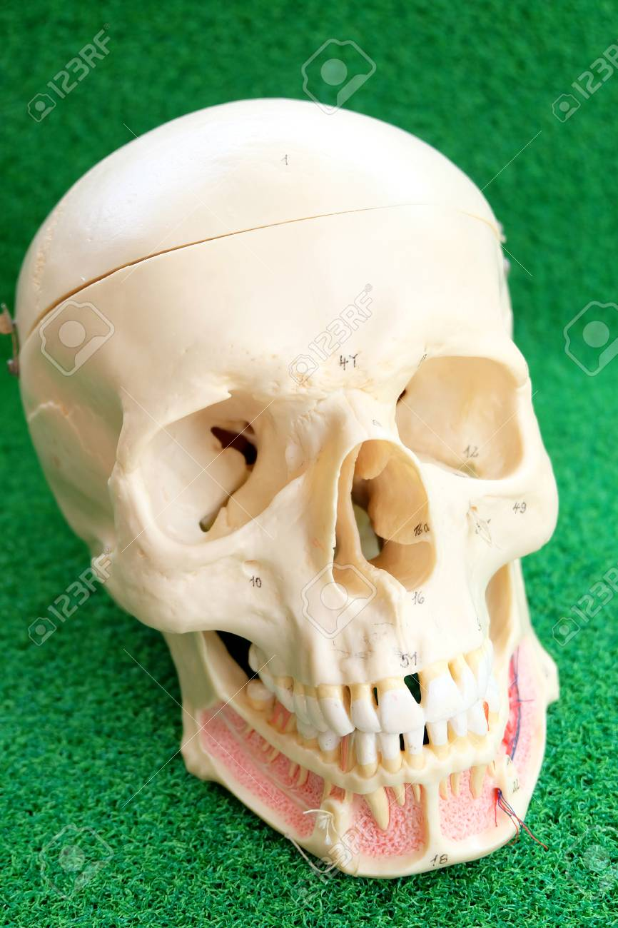 Human Skull Anatomy Model Stock Photo, Picture And Royalty Free ...