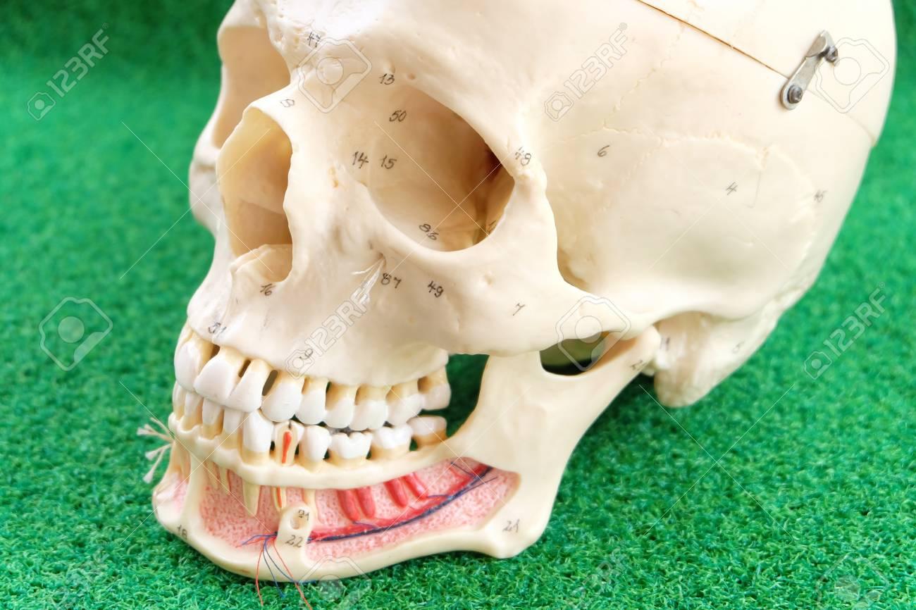 Anatomie Des Menschlichen Schädels Lizenzfreie Fotos, Bilder Und ...