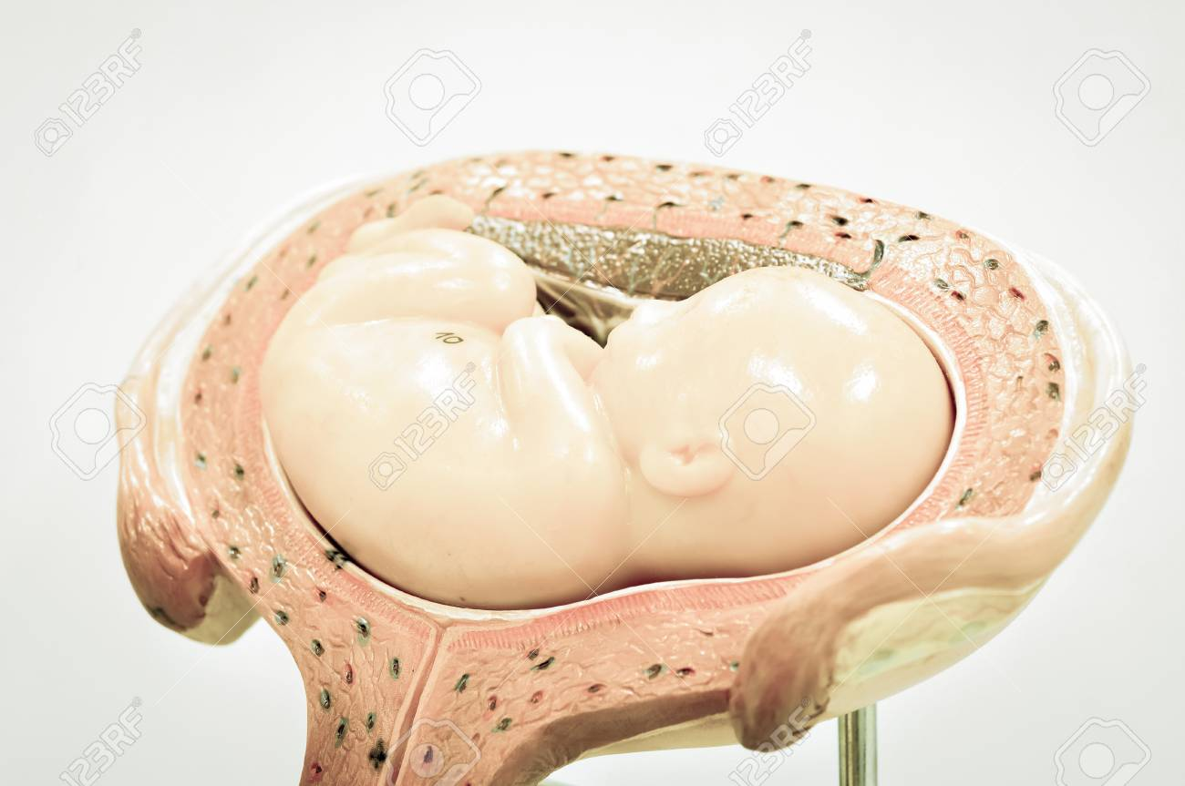 Gemütlich Anatomie Des Babys In Der Gebärmutter Zeitgenössisch ...
