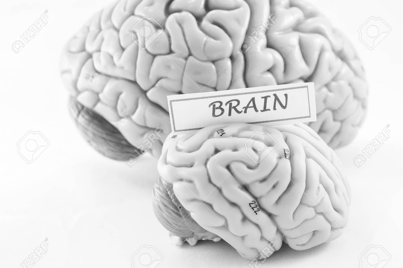 Anatomy Of Human Brain Model With Black And White Color Stock Photo